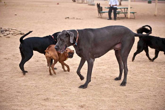 самая большая собака5 (700x465, 116Kb)