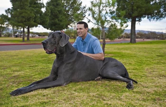 самая большая собака6 (700x452, 133Kb)