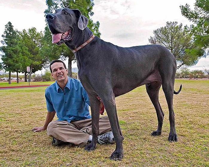 самая большая собака8 (700x560, 205Kb)