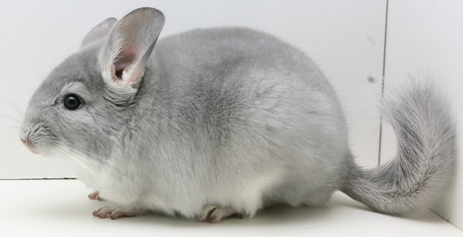 Chinchilla (650x333, 43Kb)
