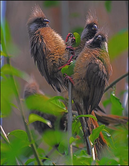 Бурокрылая птица-мышь