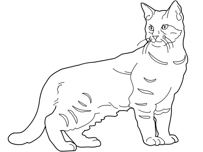 cats_coloring_pages_pixie-bob (700x525, 77Kb)