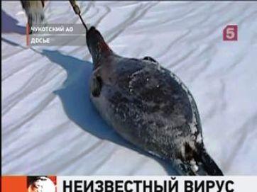 Больные тюлени Чукотки (362x271, 17Kb)