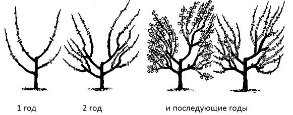 Как формировать у крыжовника