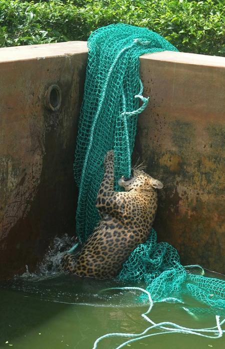 леопард фото 2 (450x700, 289Kb)