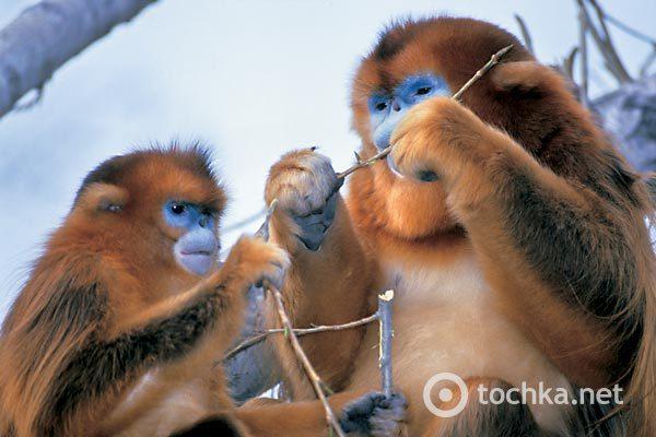 69bfcfc4292d3f2ca3a0d867ecb7befb_golden_monkey1 (600x400, 46Kb)