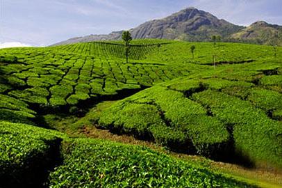 зелёный-чай (406x270, 82Kb)
