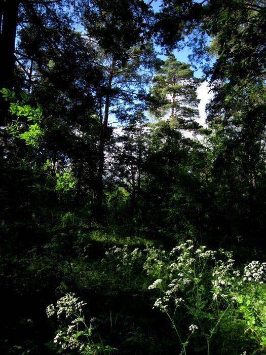 лес 39 (525x700, 367Kb)