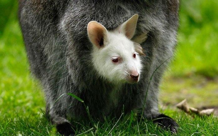 белый кенгуренок фото (700x437, 79Kb)