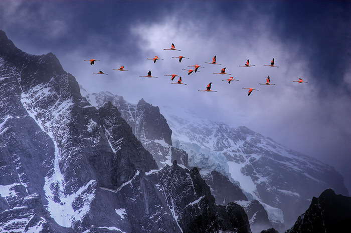 chilean-flamingos-in-flight-against-andes-mounatains-thumb-700x466-12214 (700x466, 150Kb)