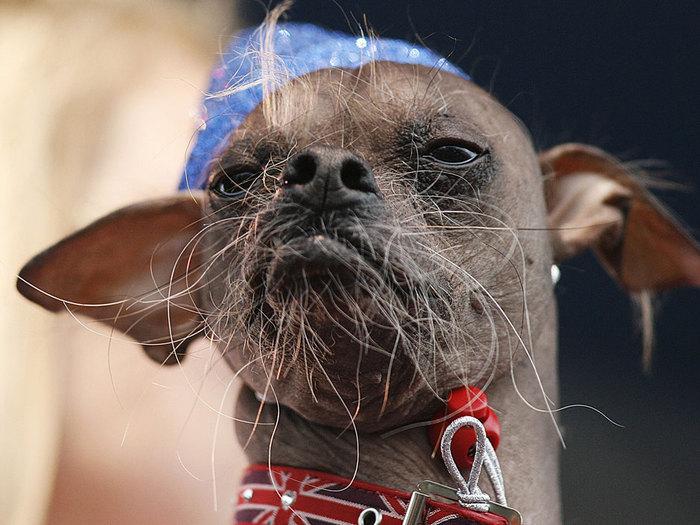 самые уродливые собаки фото 7 (700x525, 97Kb)