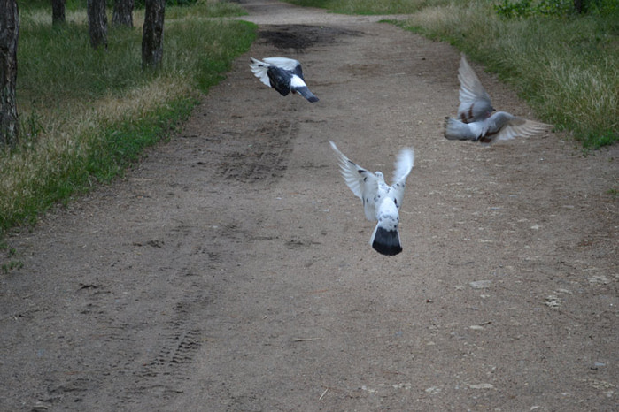 голуби летят/4348076_golybivzletaut (700x466, 111Kb)