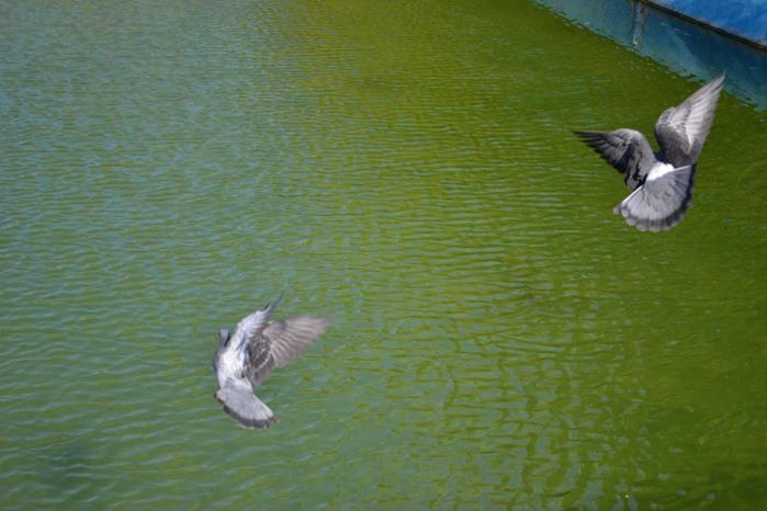 голуби над водой/4348076_golybinadvodoi (700x466, 114Kb)