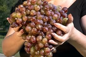виноград (276x183, 11Kb)