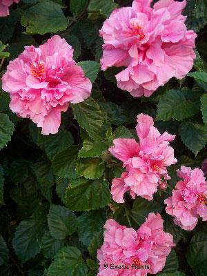 _hibiscus_mutabilis1 (300x400, 45Kb)