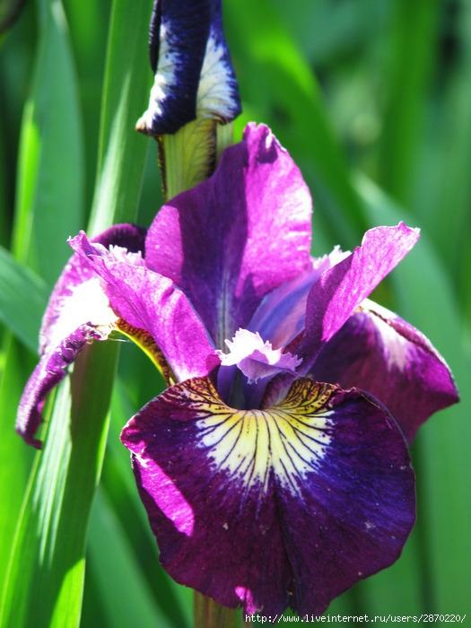 Ботанический 1 июля 026 (525x700, 228Kb)