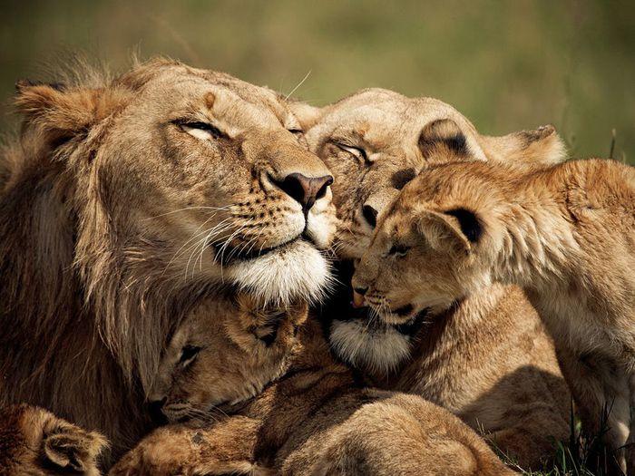 львиное семейство фото/1341226487_l_vuy_foto (700x525, 87Kb)