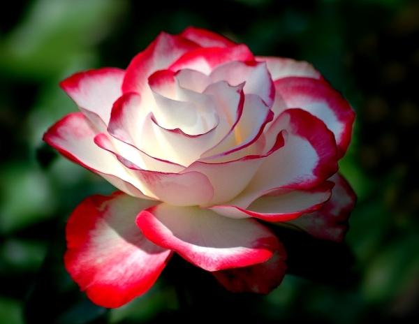 roses-18 (600x464, 162Kb)