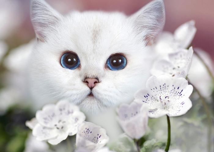 http://img0.liveinternet.ru/images/attach/c/5/88/959/88959784_1341270483_beluye_koshki_1.jpg