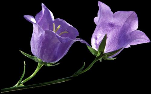 Цветы-голубые (500x312, 132Kb)