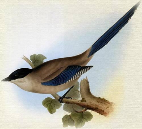 Сорока пиренейская голубая