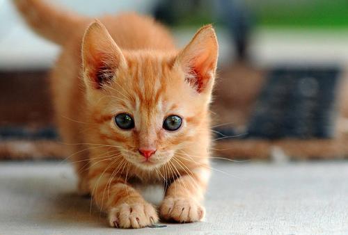 прикольные фото котят/4171694_smeshnie_kotyata_foto_7 (500x338, 264Kb)