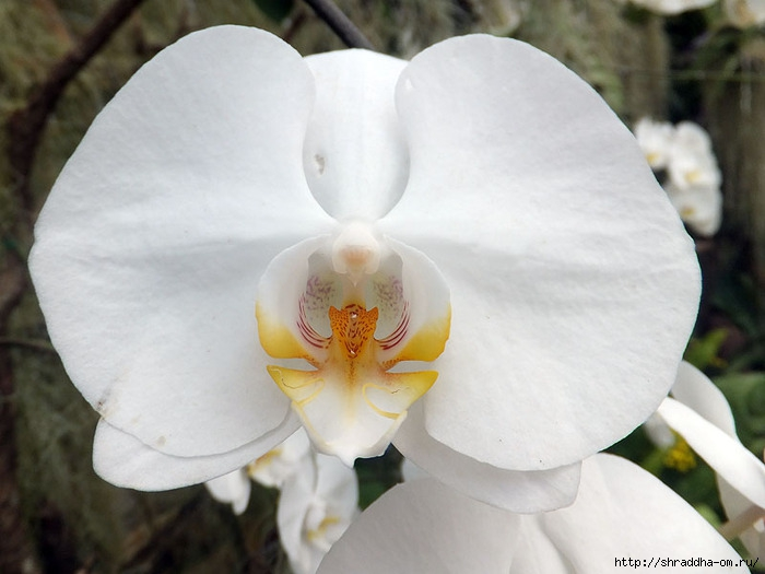 цветы Тайланда, 0 (700x525, 161Kb)