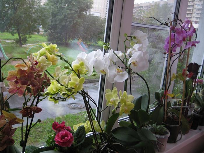 орхидеи на подоконнике (700x525, 121Kb)