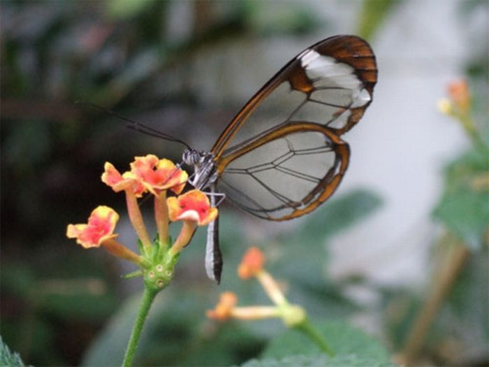 1279058497_glasswing_butterfly_05 (700x525, 39Kb)