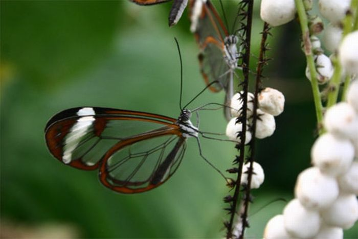 1279058507_glasswing_butterfly_04 (700x468, 36Kb)
