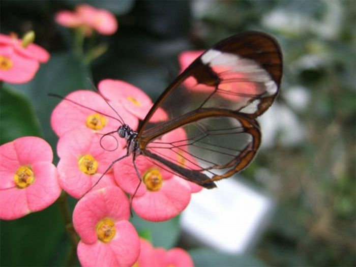 1279058524_glasswing_butterfly_07 (700x525, 42Kb)