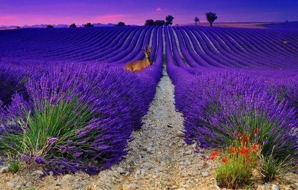 Закат на лавандовом поле. Франция (604x385, 81Kb)
