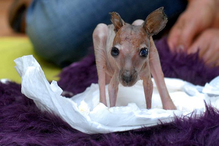 Это странное существо на фотографии - новорожденный кенгурёныш по имени Сабрина. Мать от него отказалась, и теперь о нем заботятся сотрудники парка Серенгети в Ходенхагене, Германия (700x467, 92Kb)