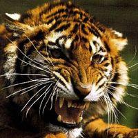 Тигр (200x200, 14Kb)