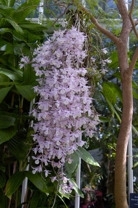 photo-013-dendrobium-orhidnye (465x700, 112Kb)