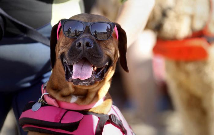 dogssurfing-3 (700x443, 75Kb)