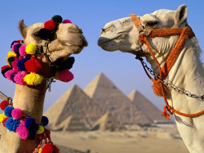 верблюды (700x525, 160Kb)
