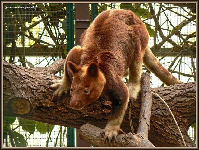 древесный кенгуру фото 1 (640x482, 109Kb)