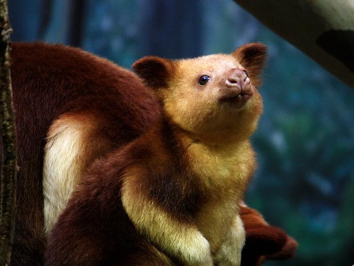 древесный кенгуру фото 3 (700x525, 288Kb)