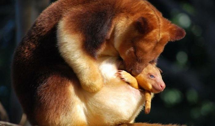 древесный кенгуру фото 5 (700x410, 84Kb)