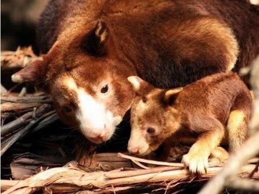 древесный кенгуру фото 6 (510x383, 50Kb)