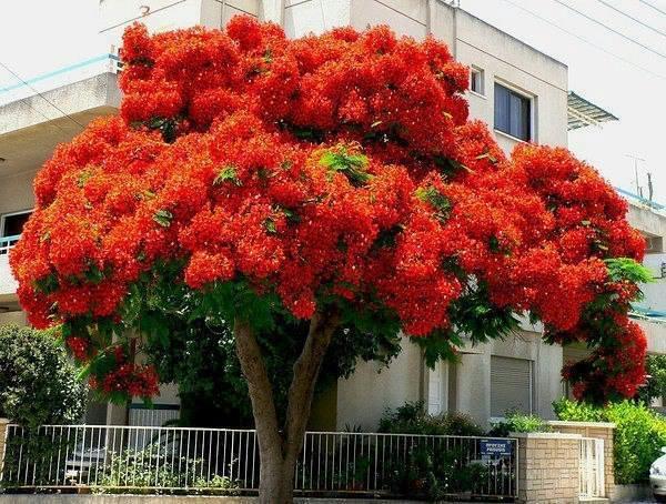 Делоникс королевский, или дерево-пожар - самое яркое дерево в мире (600x454, 396Kb)