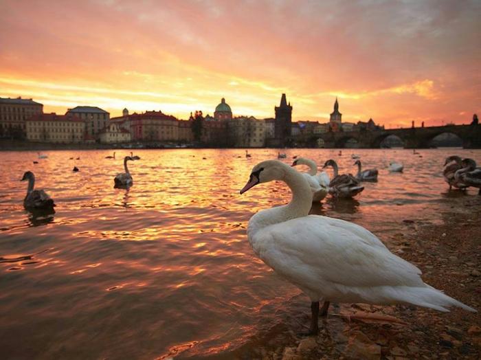 Стая лебедей на закате. Прага, Чехия (700x524, 369Kb)