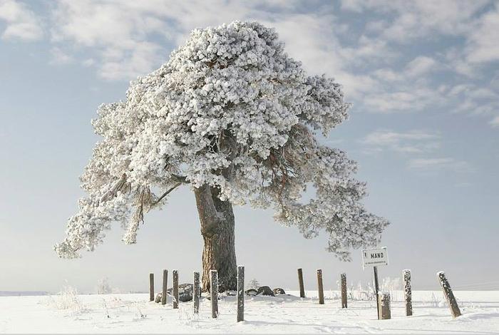 Эта 1500 летняя сосна пережила вторую мировую. Раньше здесь был лес. Лаеквере, Эстония (700x470, 282Kb)