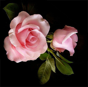 розы-о (300x298, 29Kb)