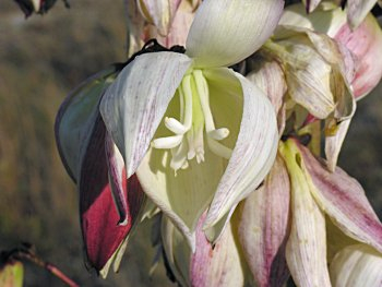Yucca gloriosa 2 (350x263, 93Kb)