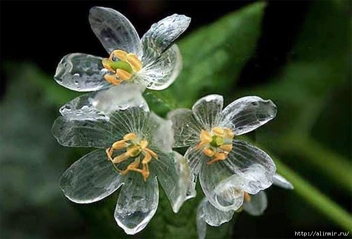 хрустальный цветок (700x477, 172Kb)