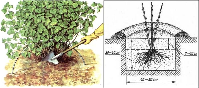 как правильно сажать белую смородину весной