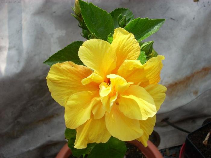 Гибискус, кутайская роза6 (700x525, 299Kb)