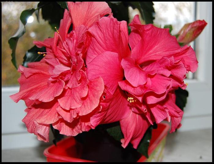 Гибискус, кутайская роза8 (700x536, 370Kb)